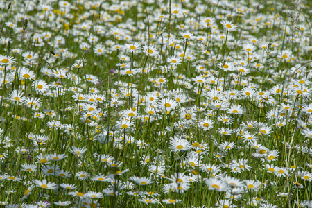 daisy flower in the garden - Leucanthemum vulgare