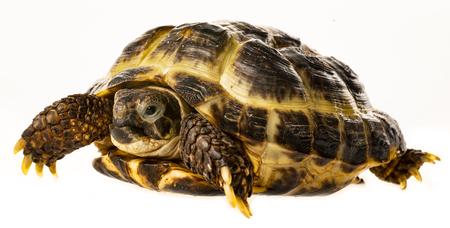 tortoise -  testudo horsfieldii - isolated on a white background Reklamní fotografie