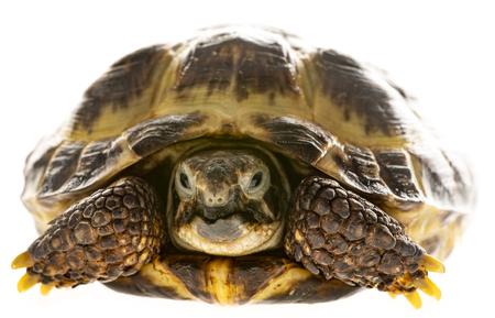 tortoise -  testudo horsfieldii isolated on white