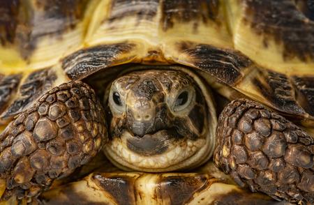 tortoise -  testudo horsfieldii - macro detail Reklamní fotografie