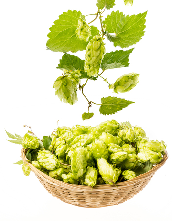 Hop cone and leaves isolated on white background