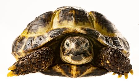 tortoise - testudo horsfieldii - isolated on a white background