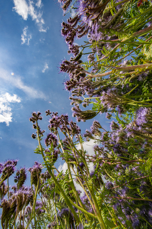 lacy phacelia, blue tansy, purple tansy - Phacelia tanacetifolia - honey plant for bees