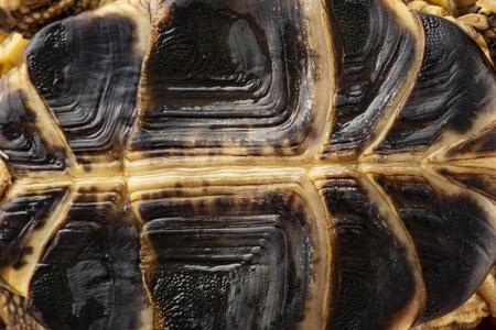 tortoise -  testudo horsfieldii - breastplate - background