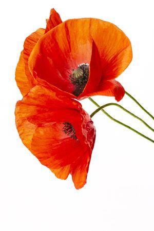 Fleur de pavot - pavot commun - Papaver rhoeas Banque d'images