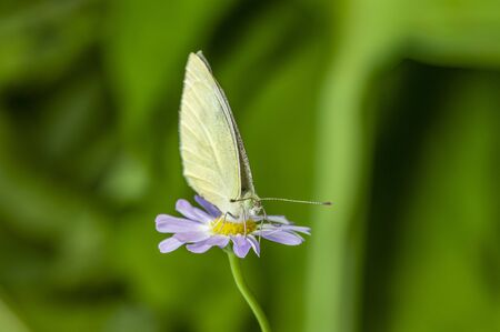 Green veined White Butterfly - macro photo