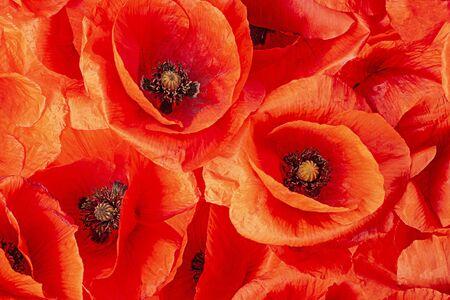 flor de amapola - amapola común - Papaver rhoeas
