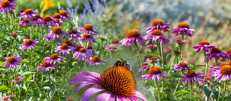 The Echinacea - coneflower close up in the garden