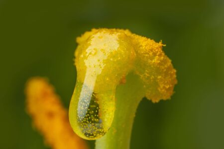 a stigma with pollen Reklamní fotografie