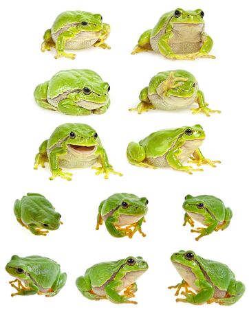 European tree frog - Hyla arborea isolated - collection