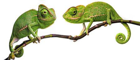 green chameleon - Chamaeleo calyptratus Stockfoto