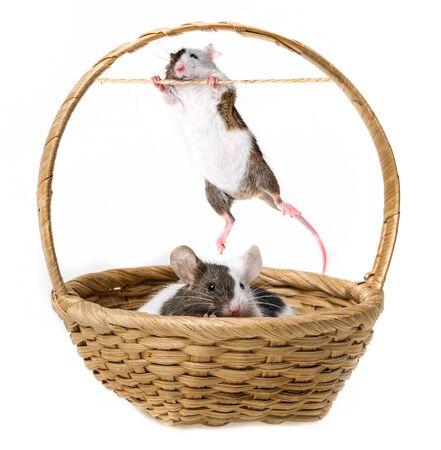 cute little mice in a basket