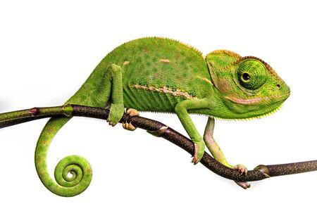 słodki zabawny kameleon - Chamaeleo calyptratus na gałęzi