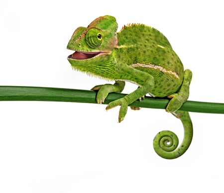 funny cute Chamaeleo calyptratus, female, isolated on a white background