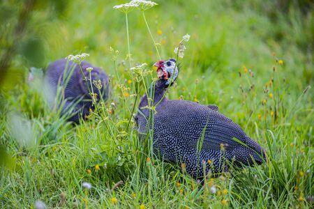 guinea fowl - Numida meleagris f. domestica Banco de Imagens