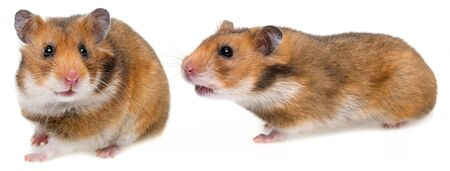 hamster isolated on a white background Stockfoto