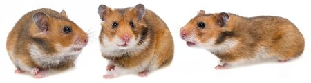three hamsters isolated on a white background