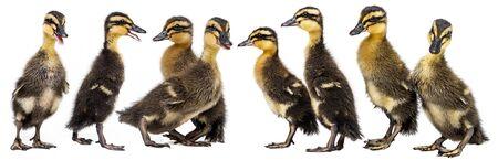 Entenküken (Indian Runner Duck) isoliert auf weißem Hintergrund Standard-Bild