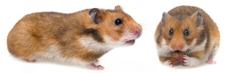 hamster eating a nut and an other hungry hamster isolated on a white background