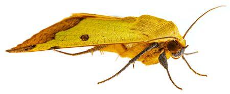 Green Drab - Ophiusa tirhaca Large Green Moth isolated on white background