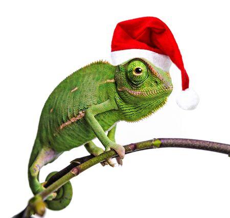 green chameleon - Chamaeleo calyptratus with funny santa cap Stock Photo