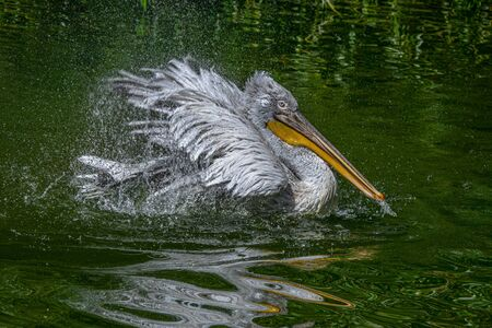 a bathing pelican close up
