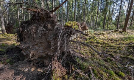tree uprooted by storm in the forest
