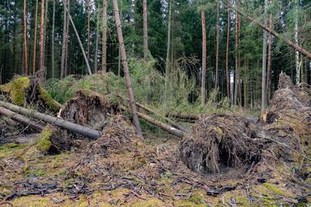 Spruce  tree uprooted by storm in the forest Banco de Imagens