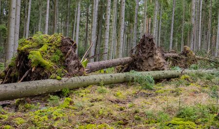 trees uprooted by storm in the forest