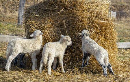 cute lambs on a farm - close up Stock Photo