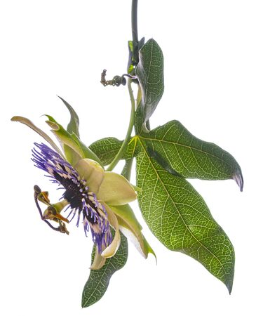 Passion flower - passiflora isolated on white background