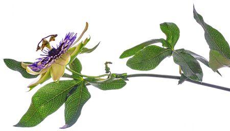 Fleur de la passion - passiflora isolé sur fond blanc
