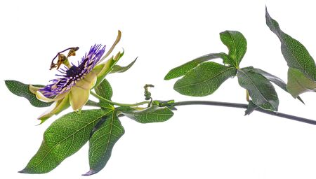 Passion  flower - passiflora isolated on white background Banque d'images