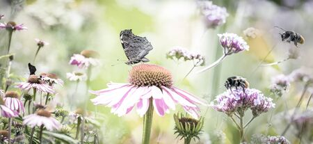 garden with flowers Echinacea purpurea - coneflower and butterflies and bumblebees Stock Photo