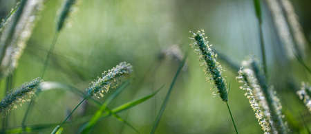 flowering grass in the detail - pollen allergy danger