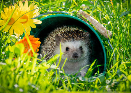 Four-toed Hedgehog (African pygmy hedgehog) - Atelerix albiventris funny summer picture