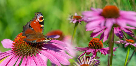 panoramic view - the garden with Echinacea flowers and peacock butterfly