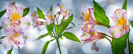 alstromeria flowers isolated on bokeh background Stock Photo