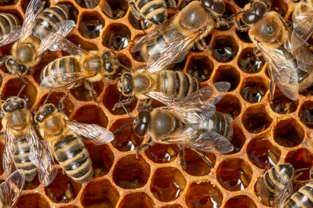 big drone bees (male honey bee) and bee workers - honey bees colony Foto de archivo
