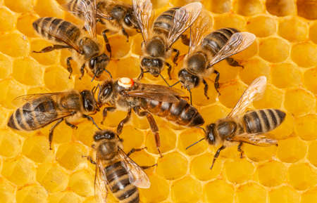 the queen (apis mellifera) marked with dot and bee workers around her - life of bee colony Standard-Bild