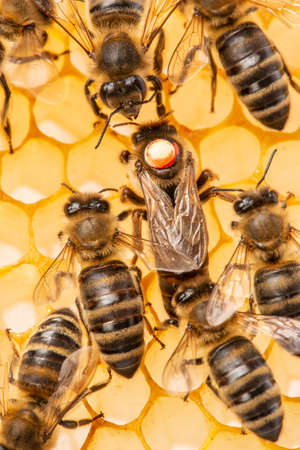 the queen (apis mellifera) marked with dot is laying eggs and bee workers around her - bee colony life