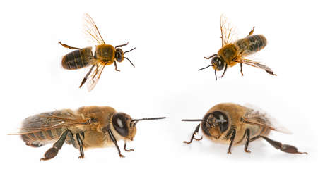 big drone bees (male honey bee) isolated on white - collection Standard-Bild