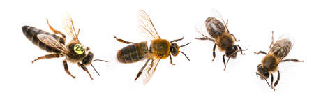 bee queen mother and drone and bee worker - three types of bee (apis mellifera) Archivio Fotografico