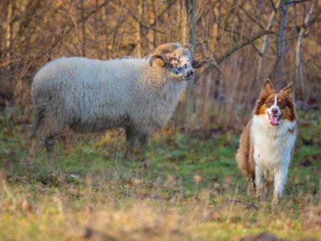 australian shepherd dog and sheep on a farm - dog is grazing - herding the sheep
