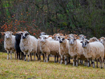 a herd of sheep on a farm