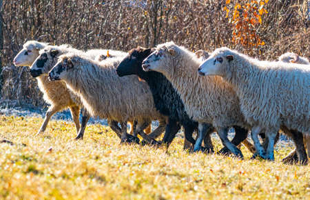 a herd of sheep on a meadow