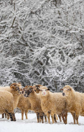 a herd of sheep in winter landscape Zdjęcie Seryjne