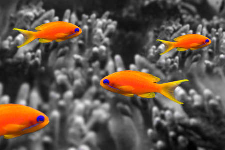 coral fish - Pseudanthias squamipinnis on black and white background Foto de archivo