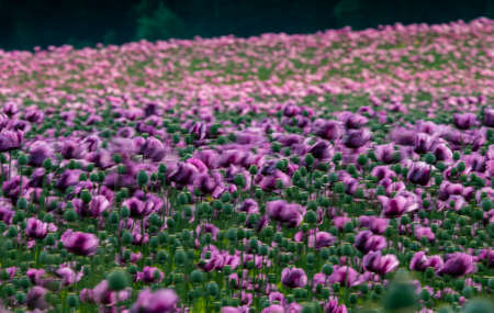 pink poppies on a field in wind Stock Photo