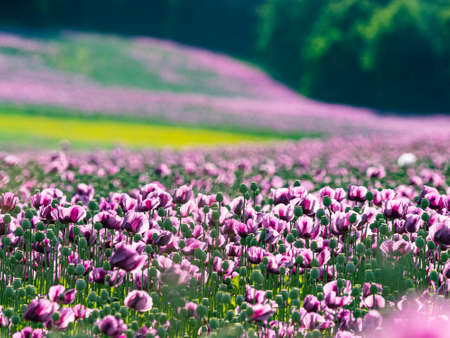 pink poppies on a field Stock Photo